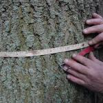 Meten van stamovang van een boom gebeurt op 1,30 meter hoogte.