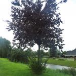Wortelopslag Prunus