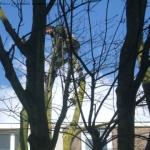 Boomverzorger bij het kappen van een boom.