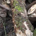 Witrot in hout van schietwilg