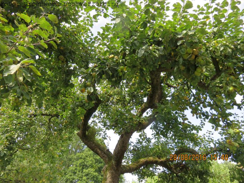 Appelboom met appels.