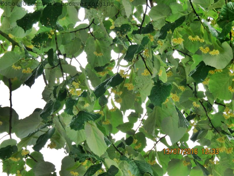 Aromatische bomen - Linde