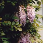 Zoet geurende Blauwe regen (Wisteria sinensis)