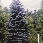 Blauwspar ((Picea pungens 'Glauca')- Typische kerstboomgeur