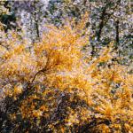 Brem - Cytisus scoparius