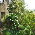 Gelderse roos (Viburnum opulus 'Roseum')
