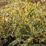 De gewone zuurbes (Berberis vulgaris) heeft sterk muf geurende bloemen.