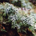Zoete -, kruidige houtgeur van de Jeneverbes (Juniperus communis).