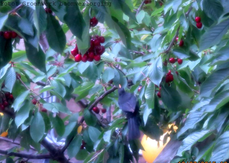 Kersenboom met rijpe kersen en merel.