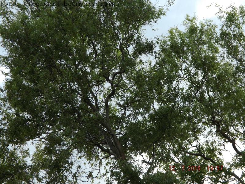 Salix matsudana 'tortuosa' (Kronkelwilg)