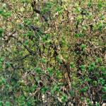 Hazelaar als kronkelboom.
