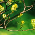 Lampenpoetser - Forthergilla gardeni: heerlijk geurende wittr bloemen in het voorjaar.