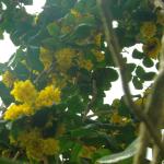 Mahoniestruik of druifstruik (Mahonium aquifolium) Aromatisch