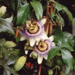 De Passiebloem (Passiflora caerula) ruikt llekker.