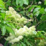 Pluimes (Fraxinus ornus) met aangenaam geurende bloesem