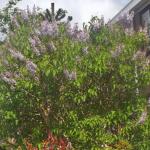 Gewone sering (Syringa vulgaris) Aromatische kleine boom.