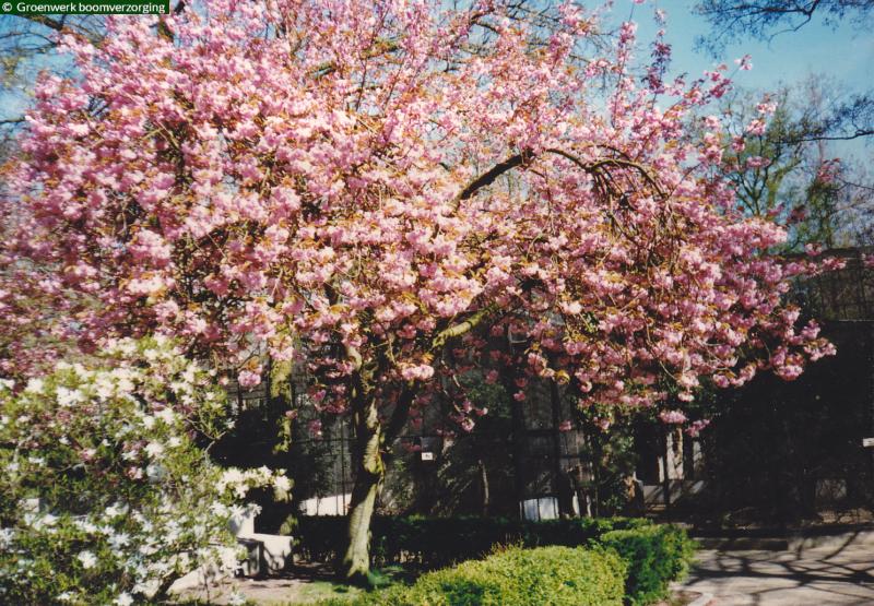 Sierboom: Prunus serrulata 'Kanzan'