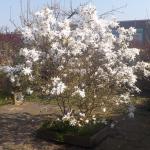 De aromatische Stermagnolia (Magnolia stellata)