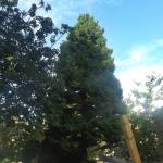 De Westerse levensboom is een naar kamfer geurende conifeer.