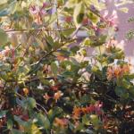 Kamperfoelie (Lonicera sp.) staan bekend om hun geurende bloemen.