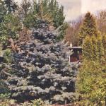 Zilverspar (Picea abies) ruikt naar sinasappel.