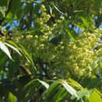 Zoete geuren van de Honingboom (Sophora japonica)