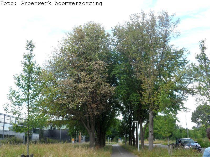 Door iepziekte aangetaste bomen.