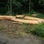 Ontbast iepenhout