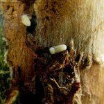 Larven van Scolytus scolytus (Grote iepespintkever)