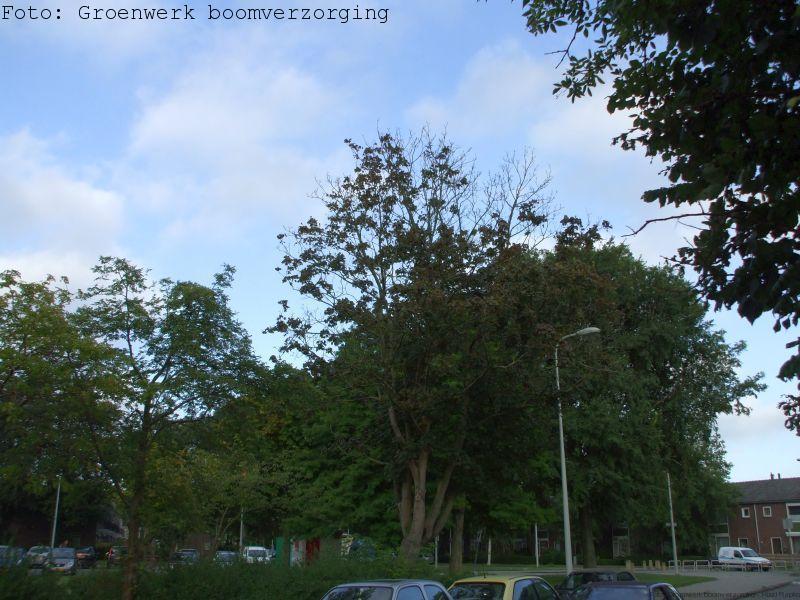 Verticillium-aantasting (Verwelkingsziekte) in Esdoorn.