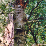 Berkenzwam (Piptoporus betulinus). Bruinrot.