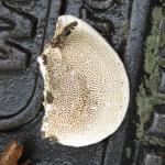 Doolhofvormiige buisjes onder de hoed van Daedalea quercina.