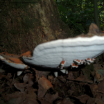 Platte Tonderzwam (Ganoderma applanatum)