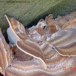 Vruchtlichamen Merpilus giganteus (Reuzenzwam)