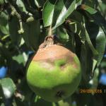 Monilia-rot (Monilia fructigena)