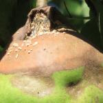 Detail Monilia fructigena op peer.
