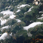 Vorstschade door sneeuwdruk.