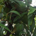 Dwergkee (Chaenomeles cathayensis) - Pitvrucht