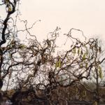 Kronkelhazelaarr of krulhazelaar -Corylus avellana 'Contorta'