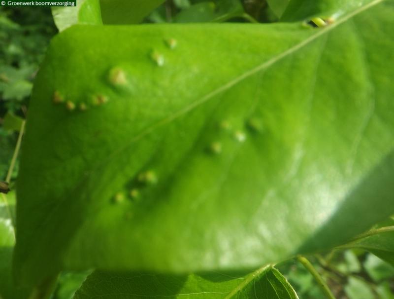 Gallen Perengalmijt (Phytoptus pyri)
