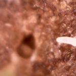 Perenpokmijt of perengalmijt - Phytoptus pyri