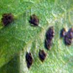 Gallen op blad perenboom.