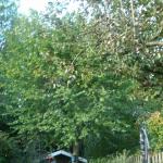 Boomhazelaar of Turkse hazelaar - Corylus colurna