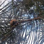Zwarte den (Pinus nigra) heeft een kampferachtige citrusgeur.