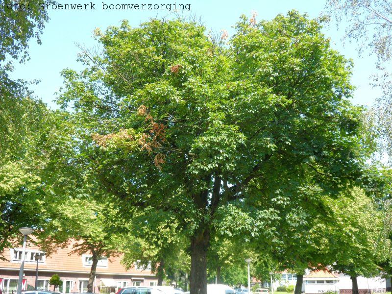Dode takken in Paardekastanje (Aesculus hippocastanum)