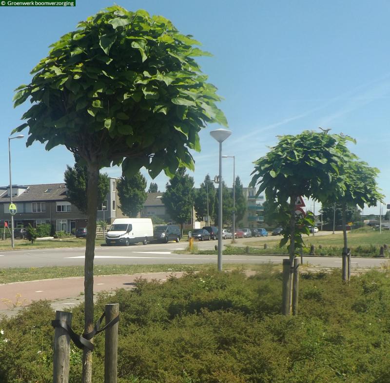 Symmetrische vormbomen. Bolcatalpa's en zuilhaagbeuken.